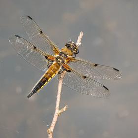 Vážka ploská, samička
