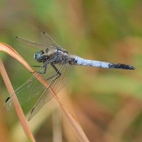 Vážka bělořitná - sameček