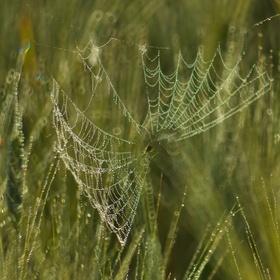 Pavučinka v obilí