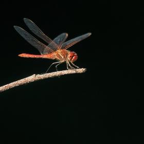 vážka jarní sameček