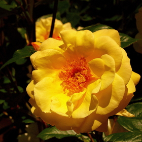 YELLOW ROSE III.