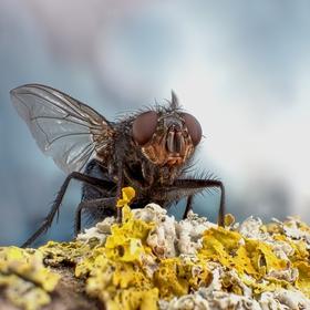 Flesh Fly ...