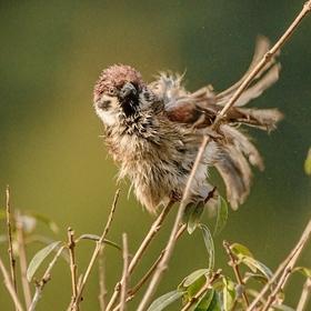 rozčepýřený -Vrabec polní