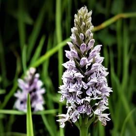 Luční orchidej - prstnatec