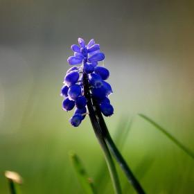 Modrá kráska