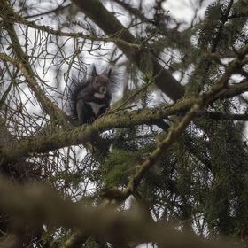Veverka na stromě