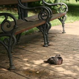 Lázeňský holub