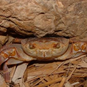 Krab od Mrtvého moře