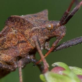Kněžice ostrorohá (Picromerus bidens)