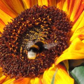 Čmelák a slunečnice