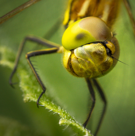 Zvědavá vážka ...