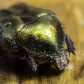 Zlatohlávek skvostný (Potosia aeruginosa)