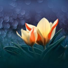 Tulipánová poézie
