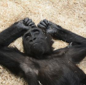 Gorilí odpočinek
