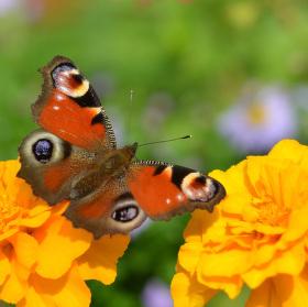 motýl na konci září