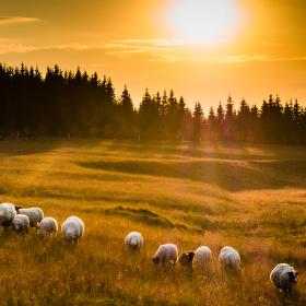 Jedna ovečka, druhá...