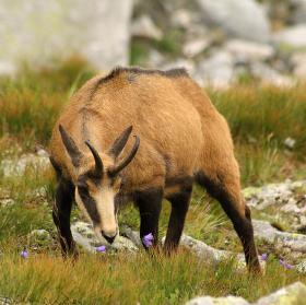 Kamzík (Rupicapra)