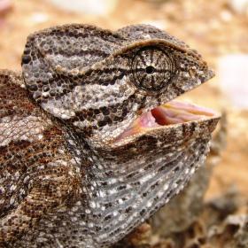Chameleo chameleo