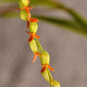 Stelis emarginata(Physosiphon tubatus)