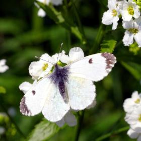 Něžnost motýlí
