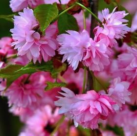 Když rozkvetla sakura