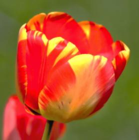 Probuzený  Tulipán