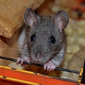 Potkaní mládě