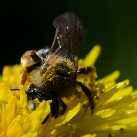 pracovitá jarní včelka
