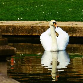 labuť v parku