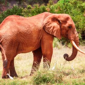 Červený slon