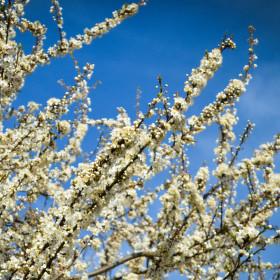 Květový sníh