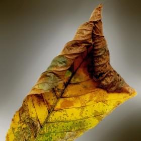Podzimní list kaštanu
