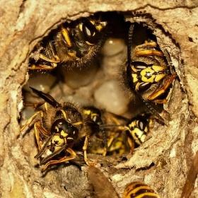 Píchnout do vosího hnízda