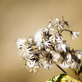 Květinka