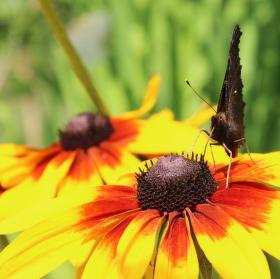 Motýl při snídani