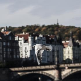 Racek v Praze