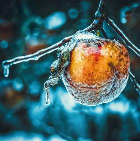 Jablíčko ledové