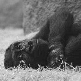 gorilí pohoda