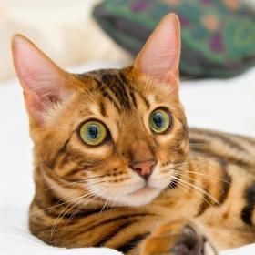 Kočka Bengálská