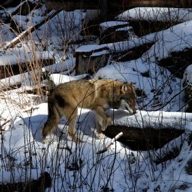 Šumavský vlk