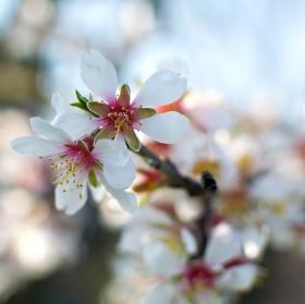 Mandloň v květu