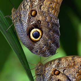 Motýlí duo