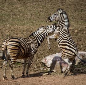 Když si zebry hrají