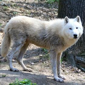 Vlk arktický - ( Canis lupus arctos)