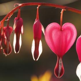 srdcovka I