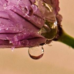 Květ pažitky