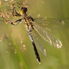 Vážka běloústá - samička