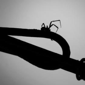 Pavouk ...