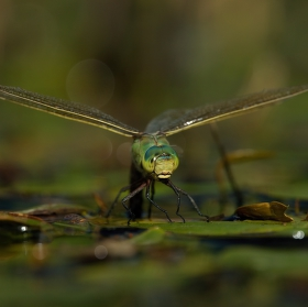 ...anax imperator V...