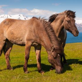 Islandští koně
